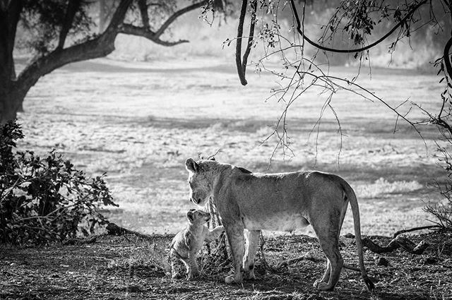A mother lion and her female cub having a moment before the little cub starts running around on her adventure. She would take off running up and down little hills and then as soon as her mom called she would run back as If to say mom I'm still good. . . . #wildlifephotography  #wildlifephoto #wildlifelovers #earthfocus #wildlifeplanet #wildlifeonearth #wildlifeaddicts #natgeowild  #natgeowildlife #natgeopl #natgeowild_hd #natgeoru  #natgeopix #wildlifeperfection #instagood #photooftheday #vscocom #getlost #explorer #optoutside  #exploretocreate #travelphoto  @nikonartists @nikonusa @nikonphotocontest  @wildlifephotographicmag  @natgeoyourshot @natgeoadventure @animalplanet @wildlifepage
