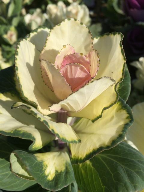 flowering kale (3).JPG