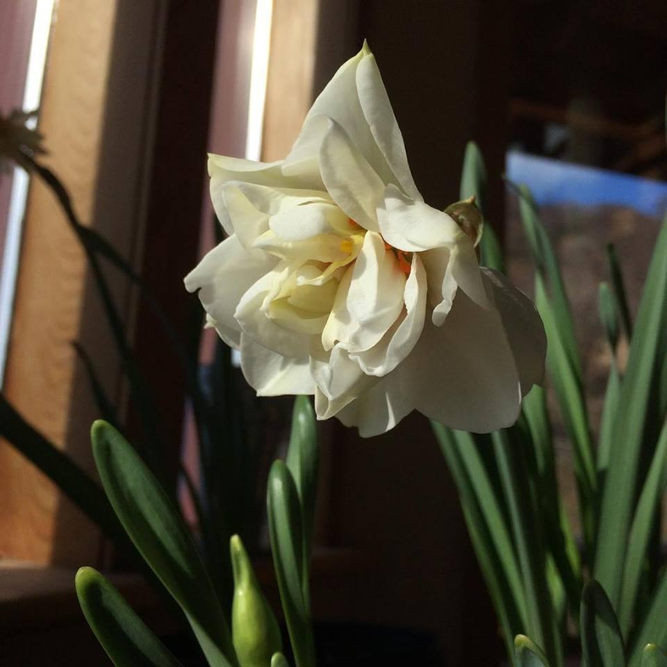 NarcissusAcropolis.jpg