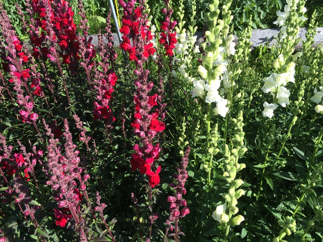 snapdragon red white.JPG