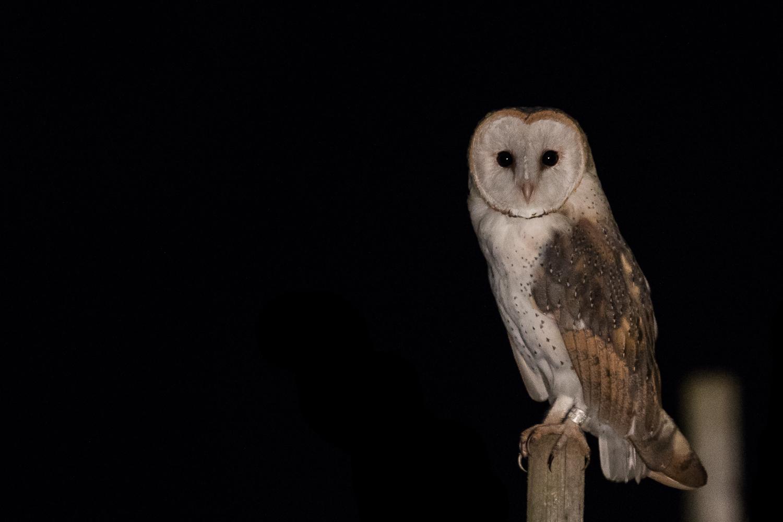 Chouette effraie/Effraie des clochers - Barn owl - Schleiereule