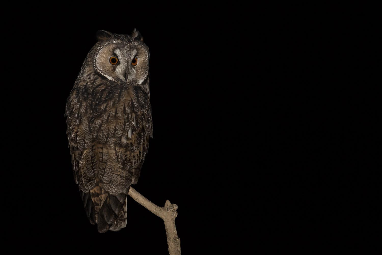 Hibou moyen-duc - Long-eared owl - Waldohreule