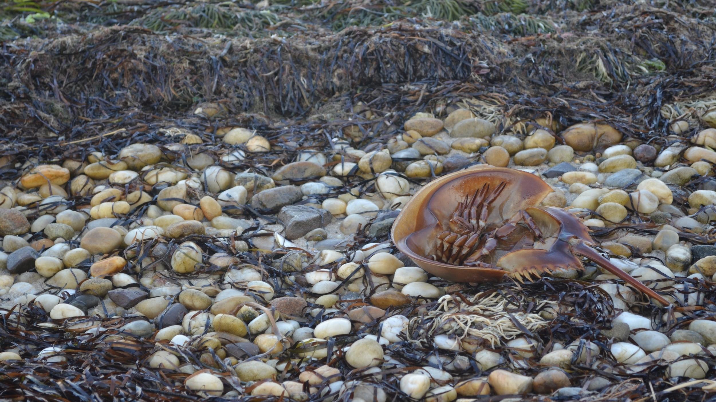 Horseshoe Crab Monitoring