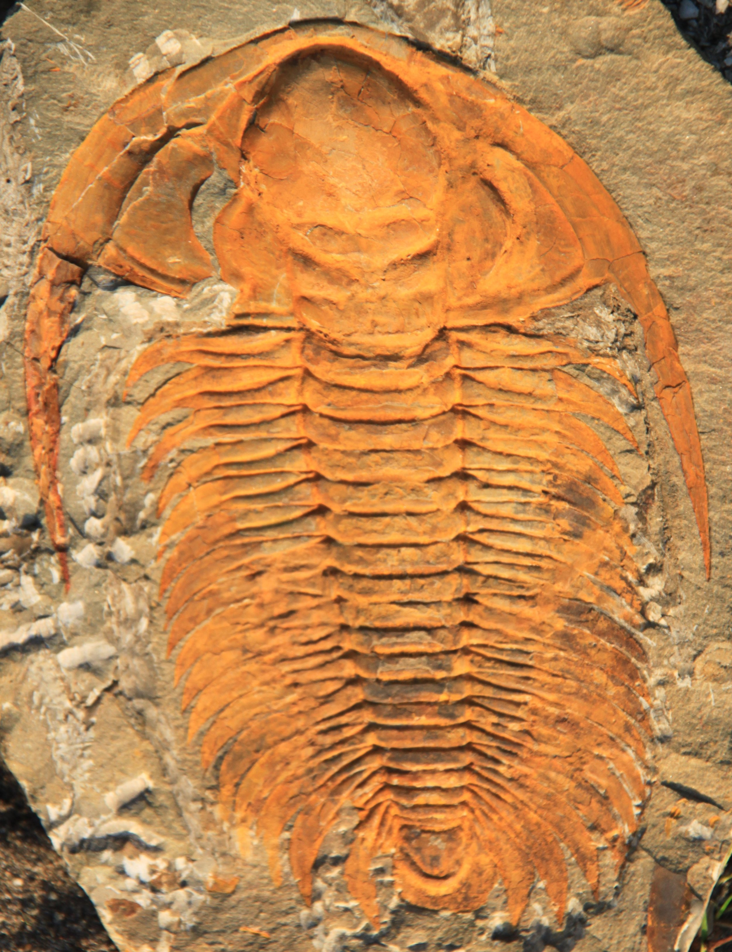 A fossilized Trilobite ( Paradoxides subgenus  Eccaparadoxides)    Source;  Wikipedia