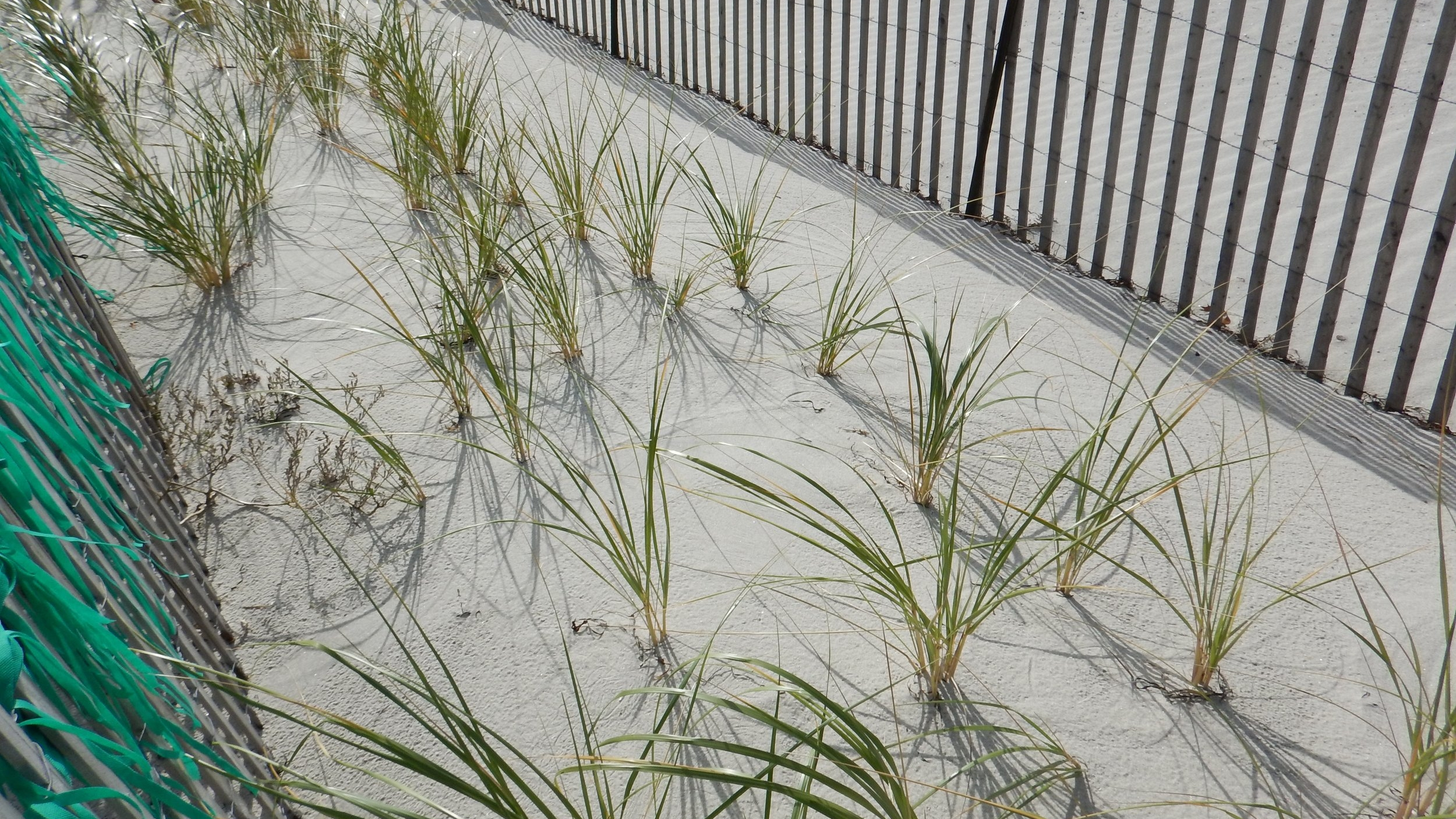 Dune building, this grass will provide additional erosion control as it continues to grow along the project area.
