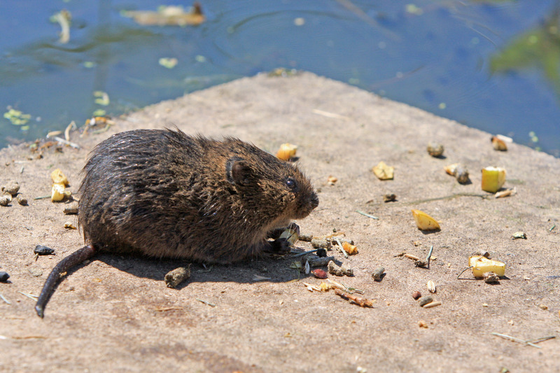 canva-rat,-water-rate,-rodent,-pest,-nature,-food,-eat-MACZWEndc1c.jpg