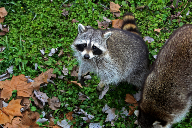 canva-raccoon,-masked,-animal,-wildlife,-wild,-zoology-MAC1LaKaHsc.jpg