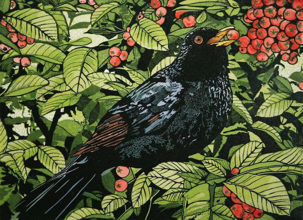 Blackbird in a Pyracanthas Bush