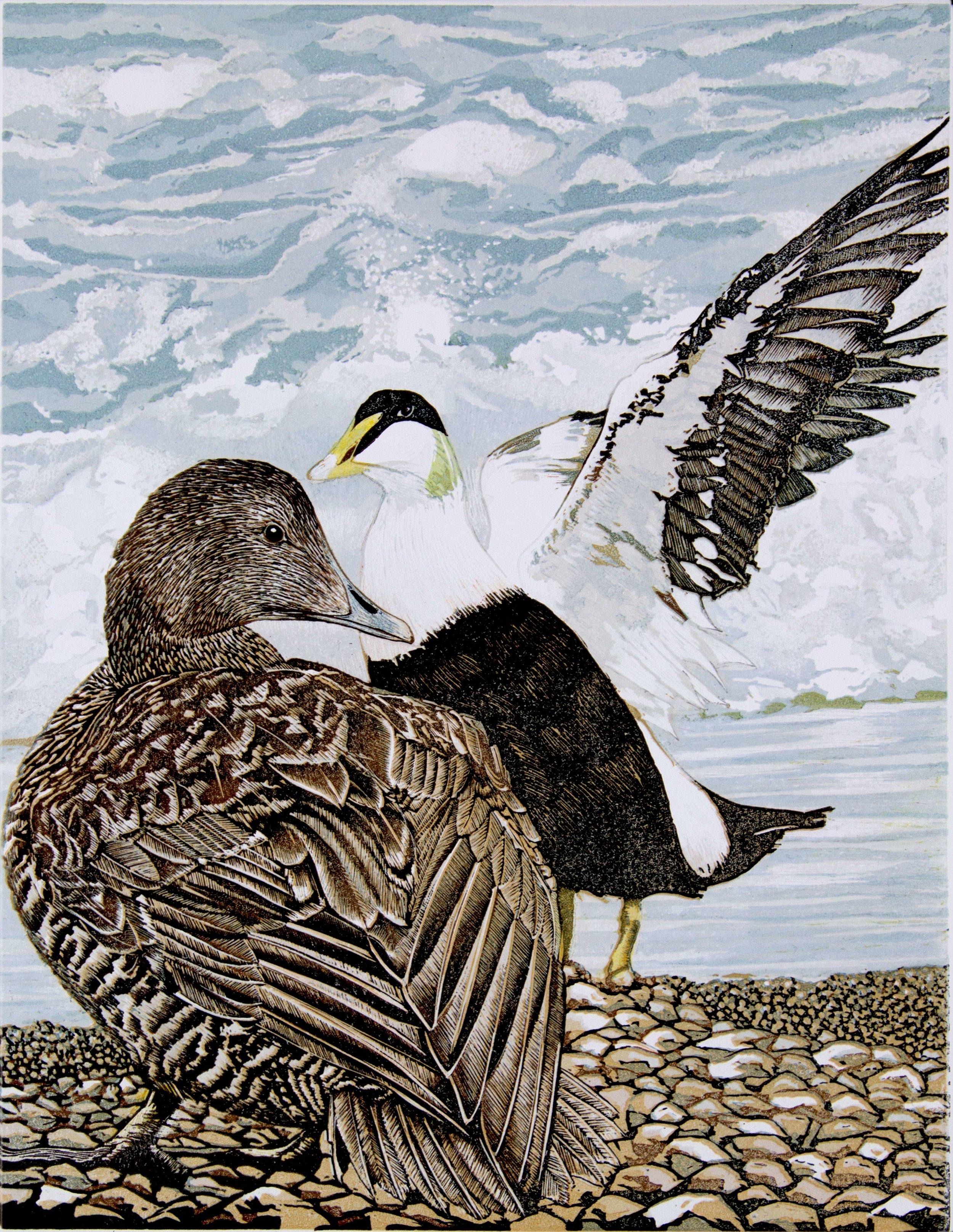 Eider Ducks.