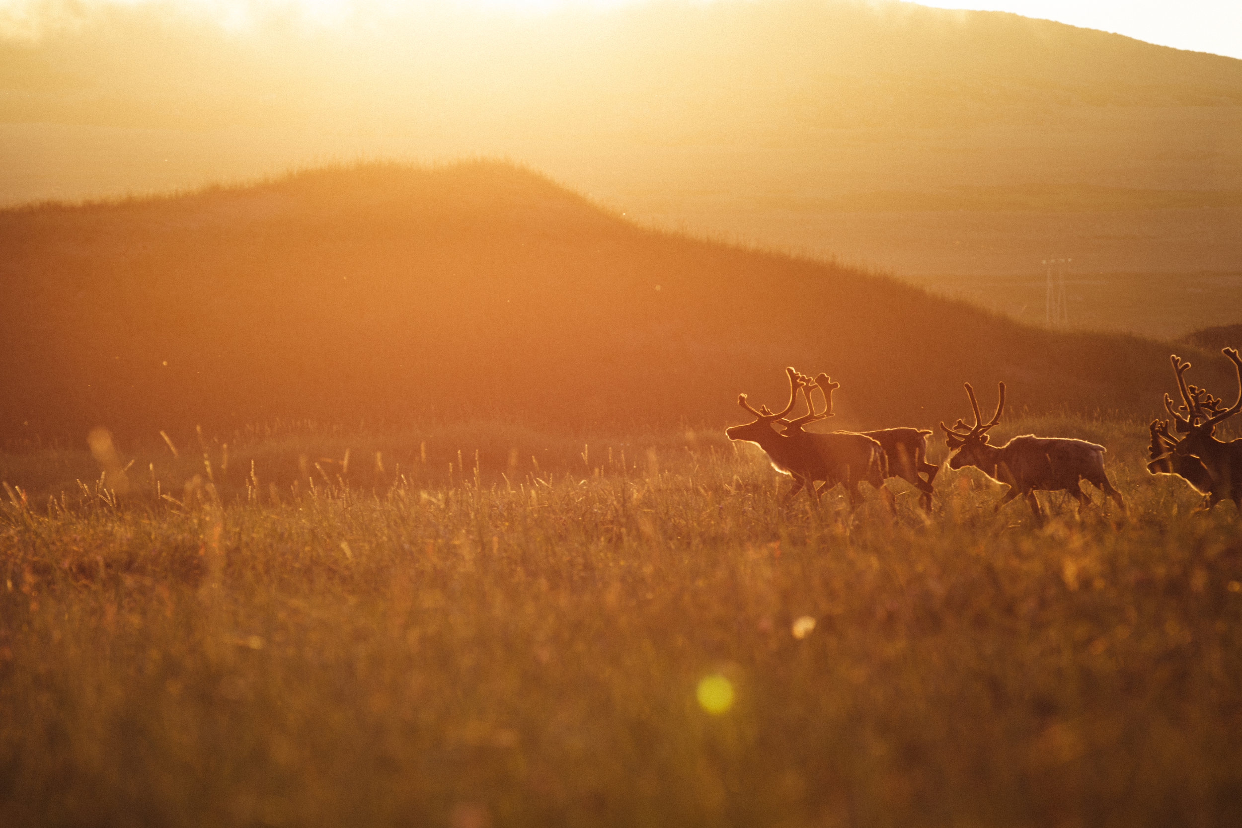 From our Summer in Norway- watching reindeer run around during the everlasting sunset .