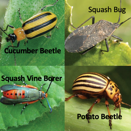 Other Pests in Your Garden - What to look for: Chews leaves and roots of plants.Prevent infestation with light row cover, pick off by hand and lastly spay o contact with BT (Bacillus thuringiensis).Diatomaceous Earth is a great organic method to use around the base of these plants. It only works when dry and must be reapplied after watering or rain.BT is NOT preventative must be used directly on pest. Washes off after rain or watering.Simple wash in kitchen is adequate for consumption.