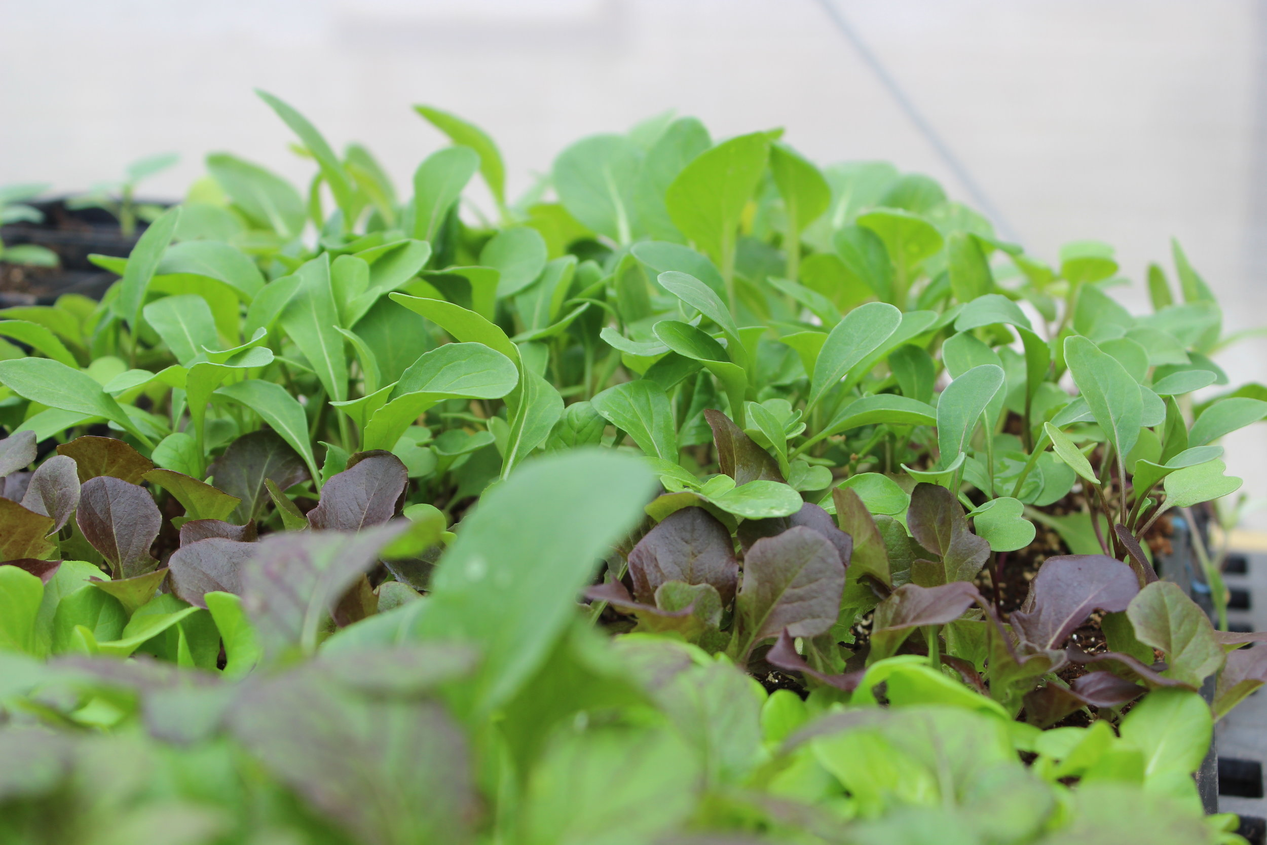 Grow lettuce…the easiest thing to grow!