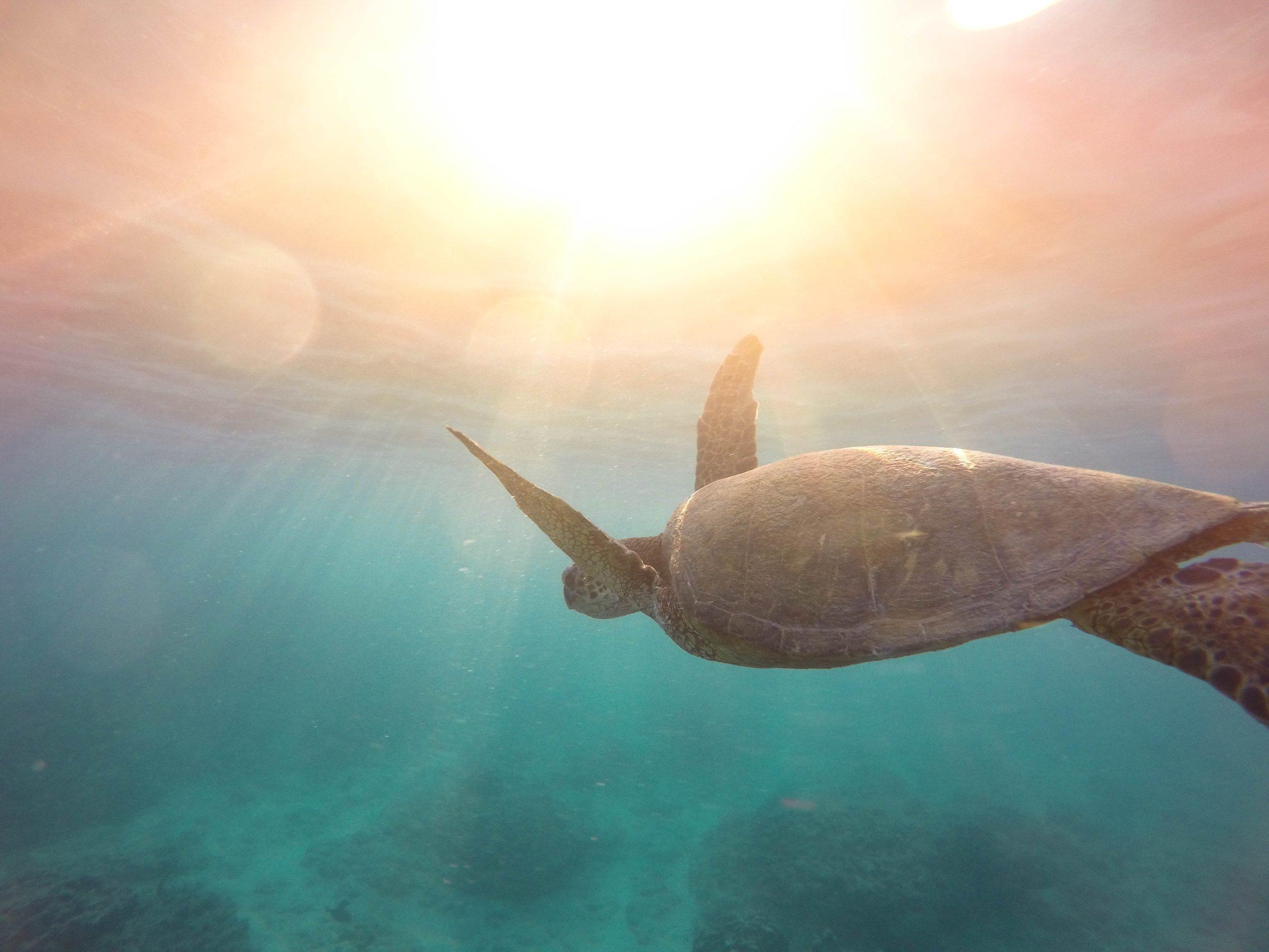 turtle in hawaii