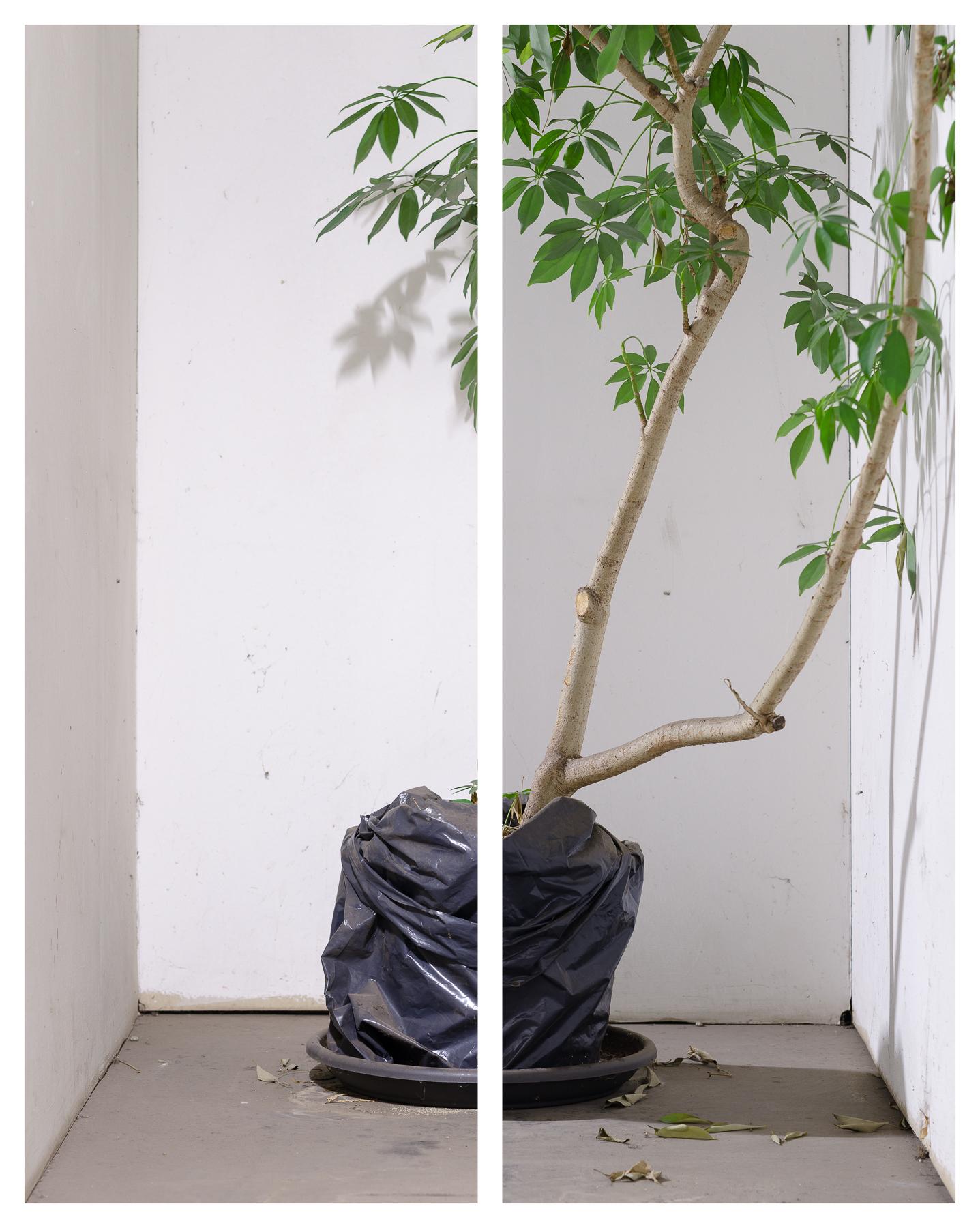 Topfpflanze, 2016 Inkjet-Pigmentdruck 2-teilig zu je 156 × 60 cm