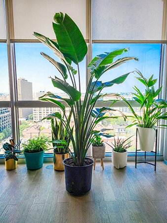 Large plant options from Good Roots.