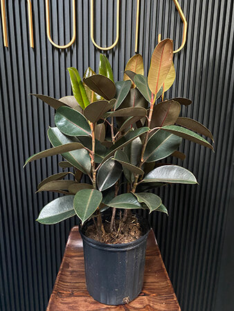 Ficus plant from Good Roots.