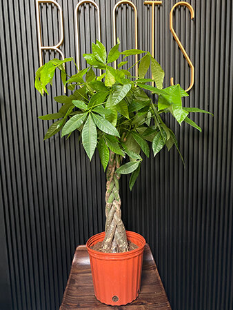 """A money tree or """"Good Luck Tree"""" makes a great gift for someone who started a new job."""