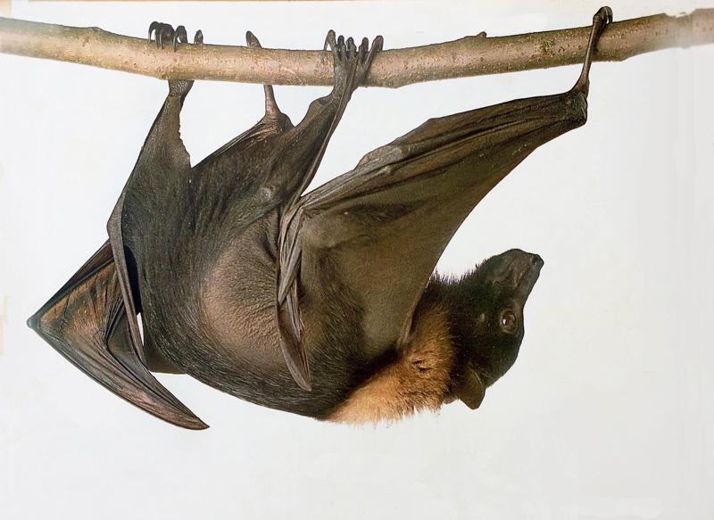 Morcego 1