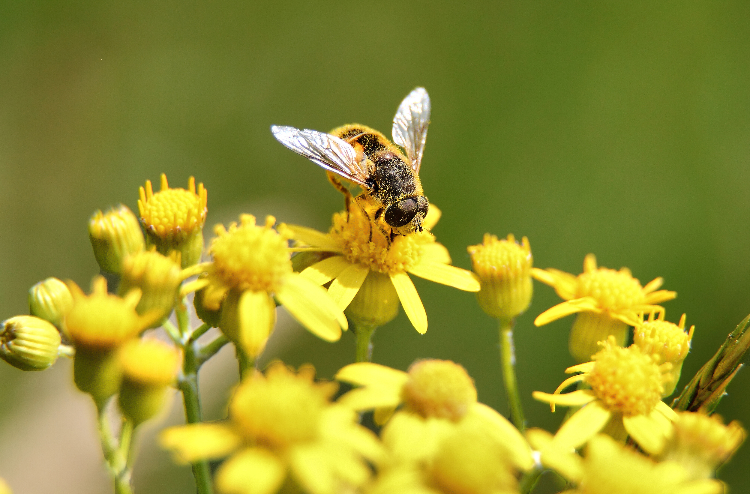 Bee-gathering_pollen_yellow-flower-macro.jpg