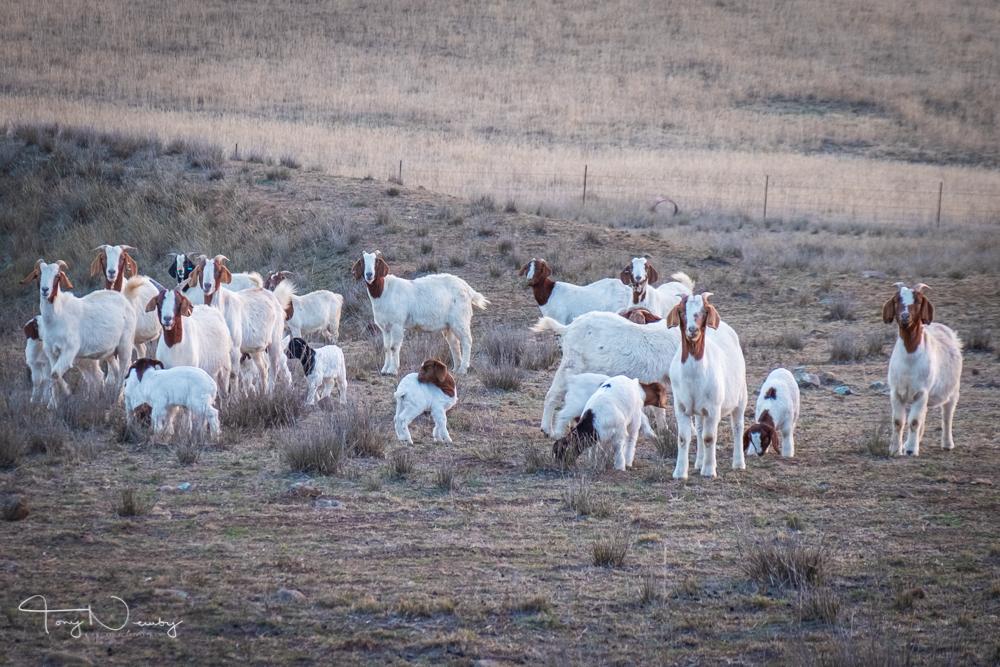 Capertee Yarraglen goats.jpg