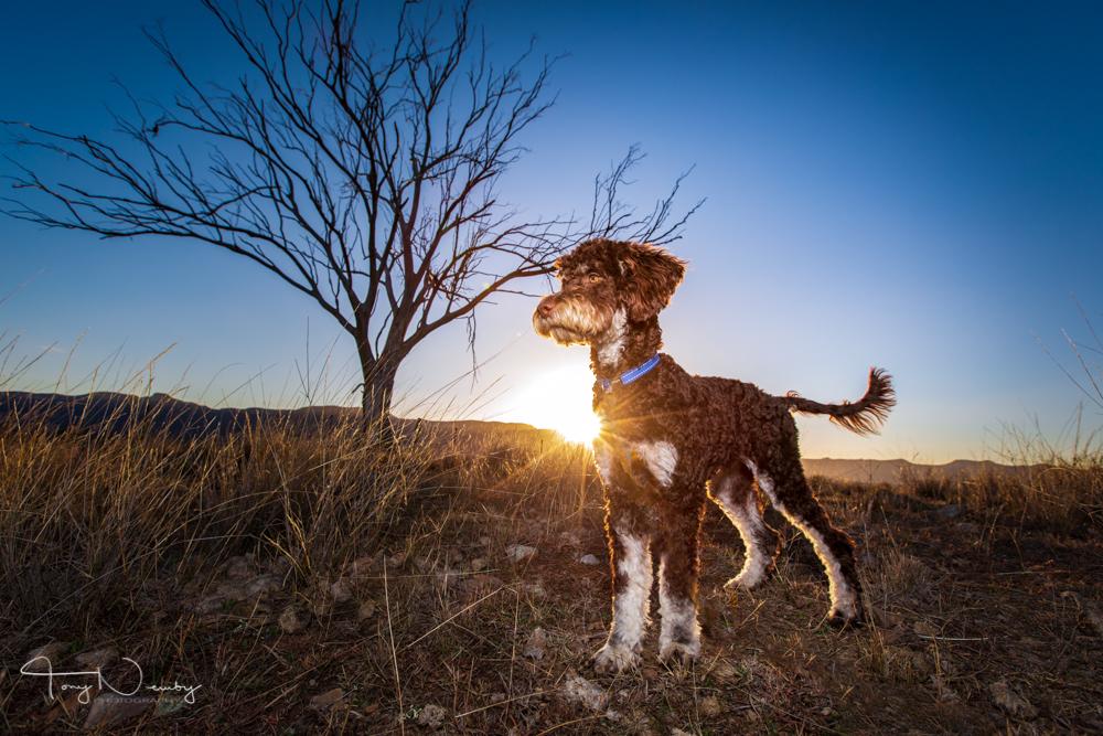 Capertee Valley borderdoodle sunrise portrait.jpg