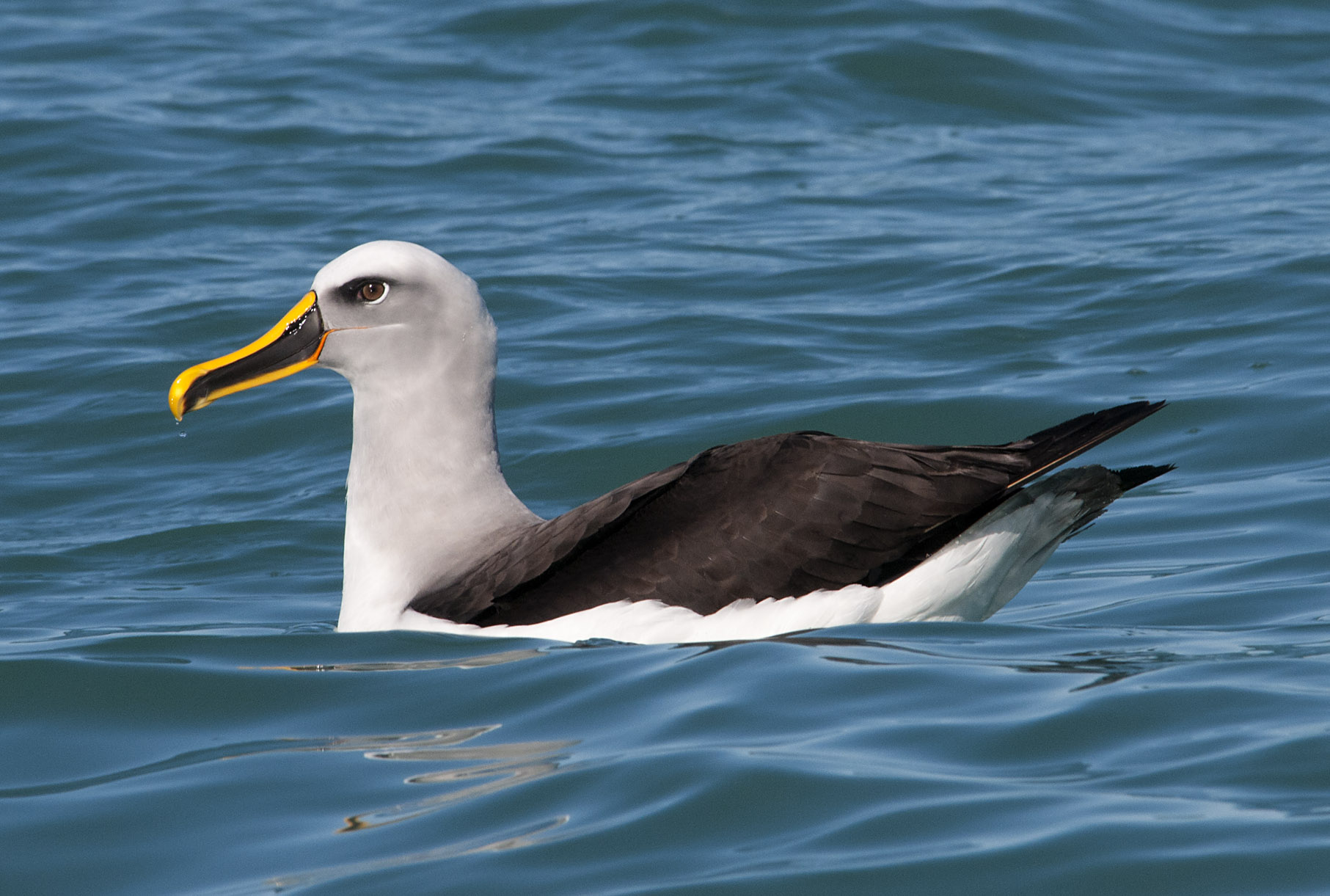 Buller's_Albatross_20110820_Kaikoura_pelagic_NZ_07.jpg