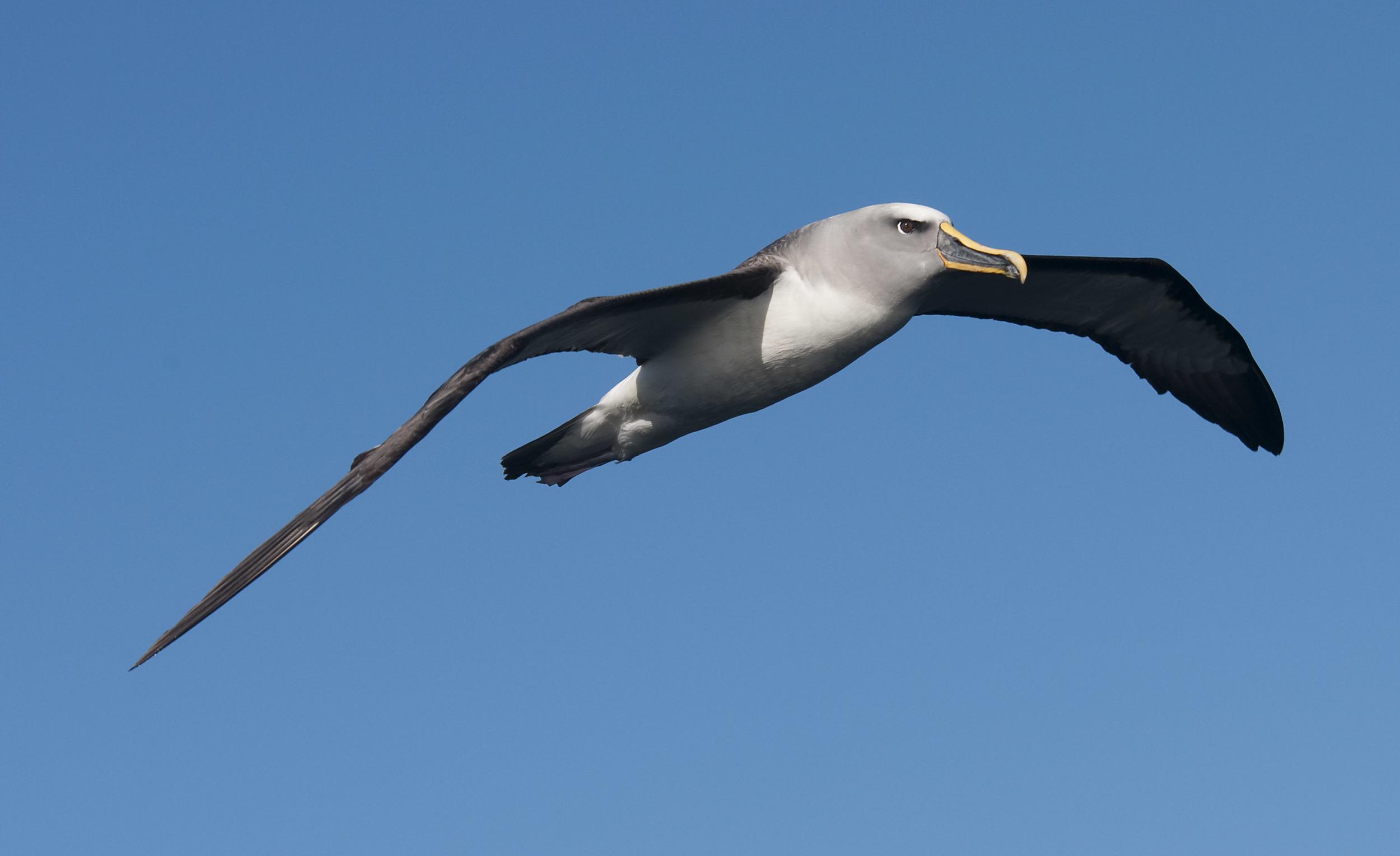 Buller's_Albatross_20110425_Stewart_Island_NZ_02.jpg