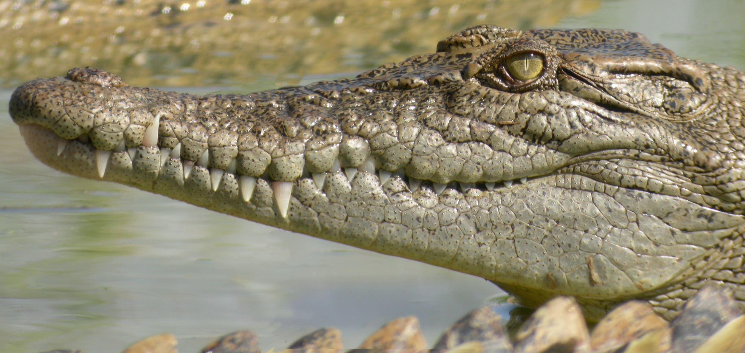 Crocodylus_porosus_20040525_Cairns_Croc_Farm_Qld_26.jpg