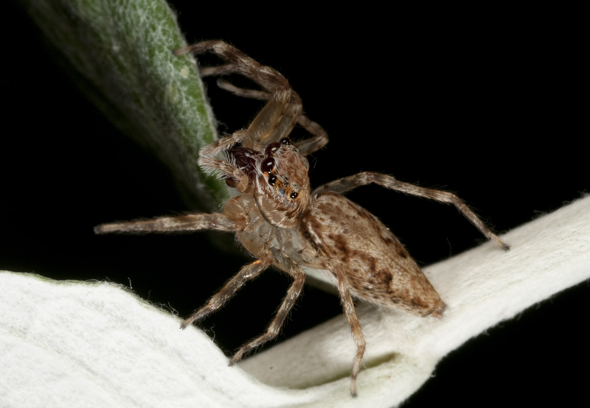 Jumping_Spider_201102116_Herne_Bay_Auckland_NZ_1.jpg