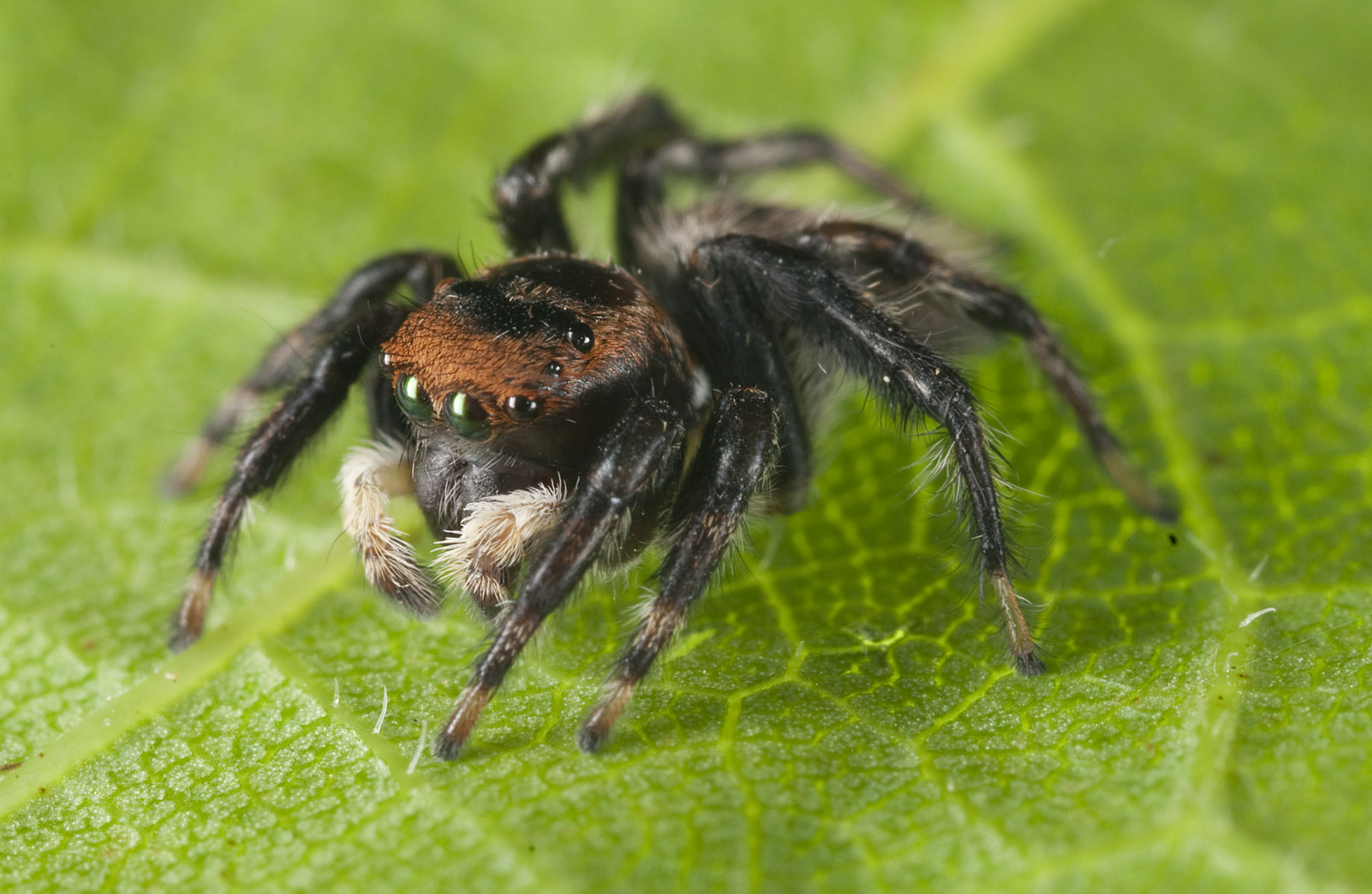Jumping-Spider_20101205_Herne_Bay_NZ_1.jpg
