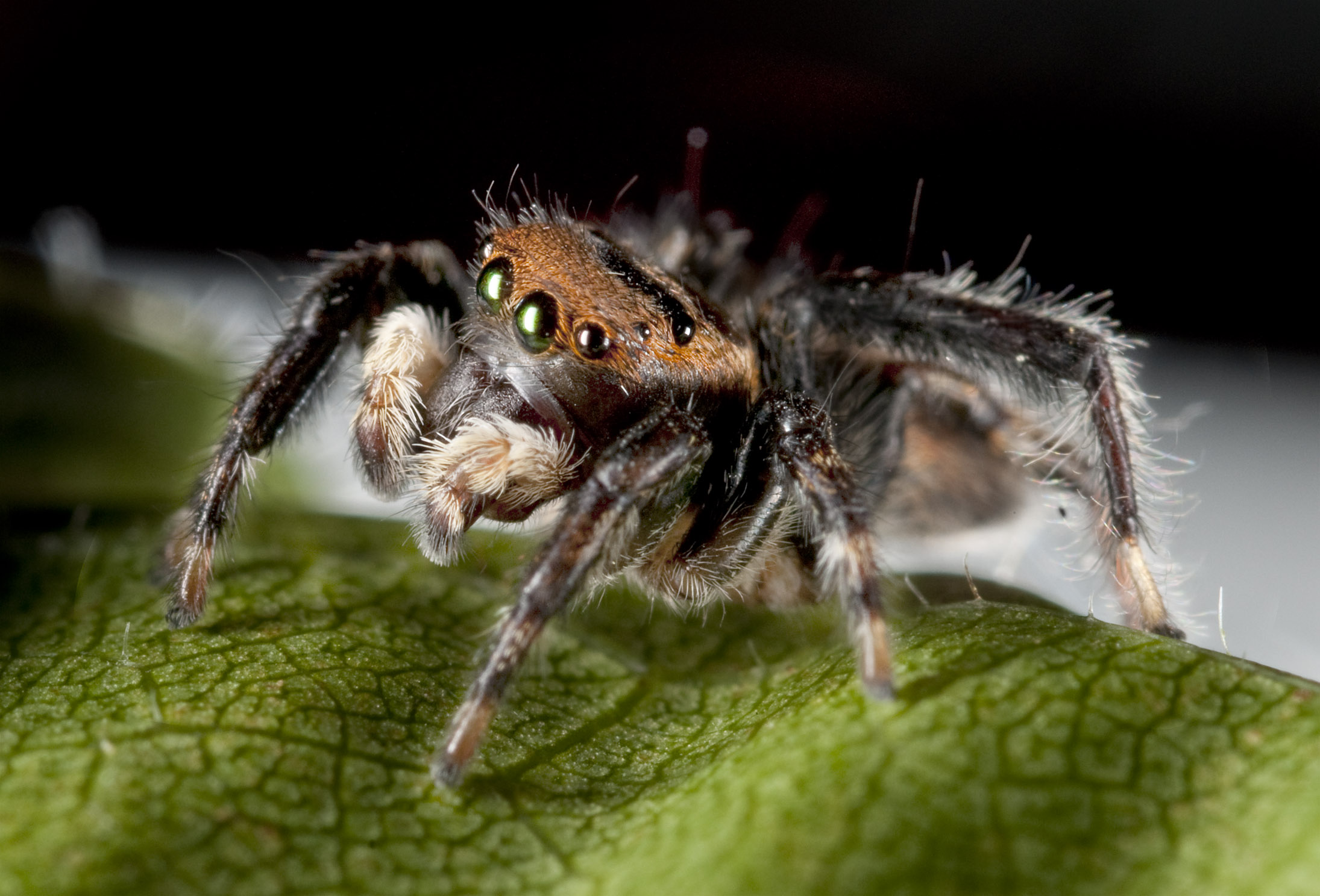Jumping-Spider_20101205_Herne_Bay_NZ_2.jpg
