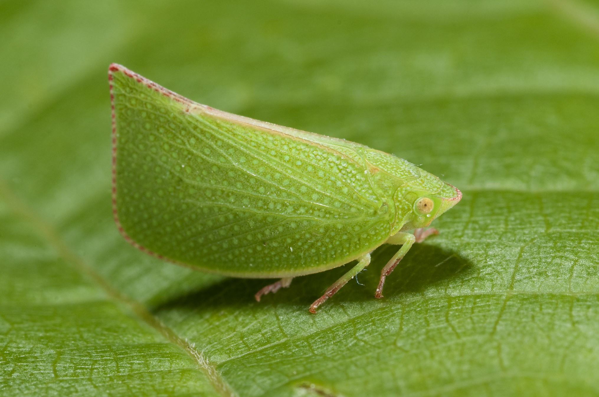 Leaf-hopper_20110223_Herne_Bay_NZ_1.jpg