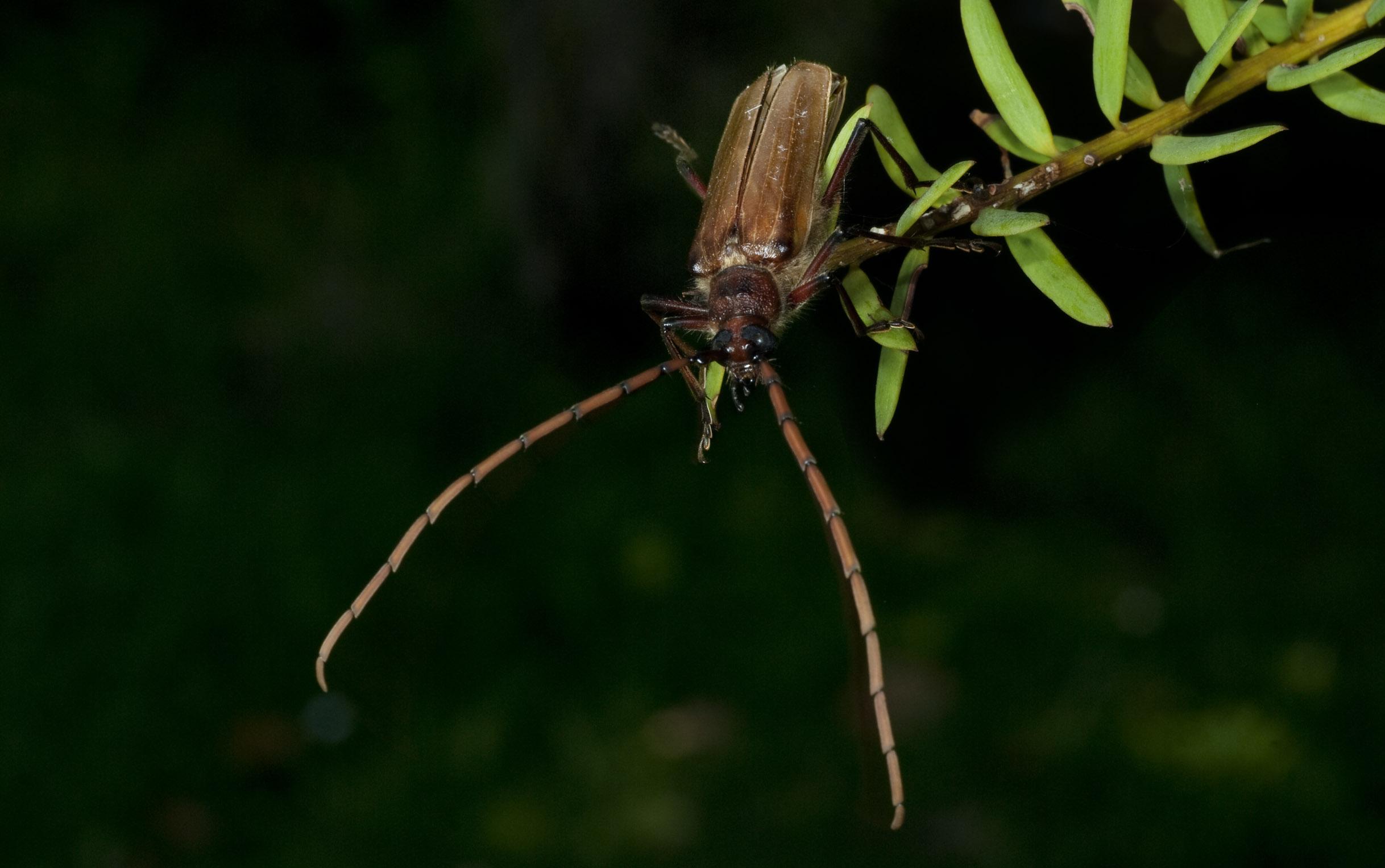 longhorn_beetle_20090126_Ruakuri_Cave_NZ.jpg