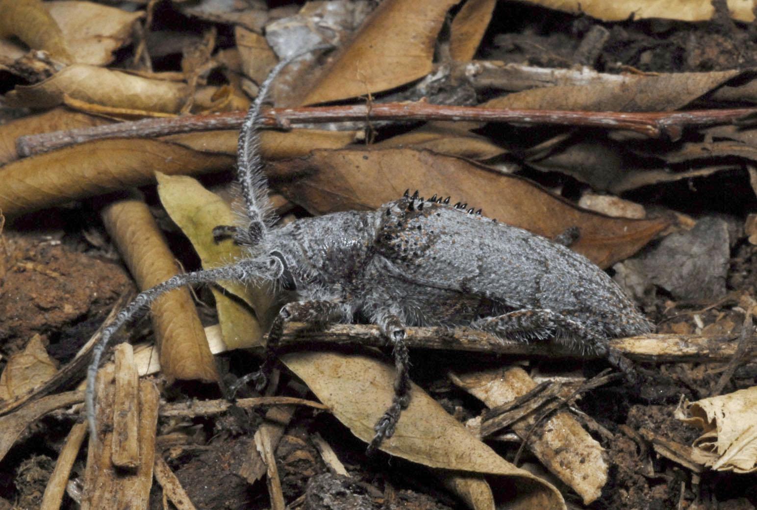 Longihorn_Beetle_20060817_Alice_Springs_NT_01.jpg