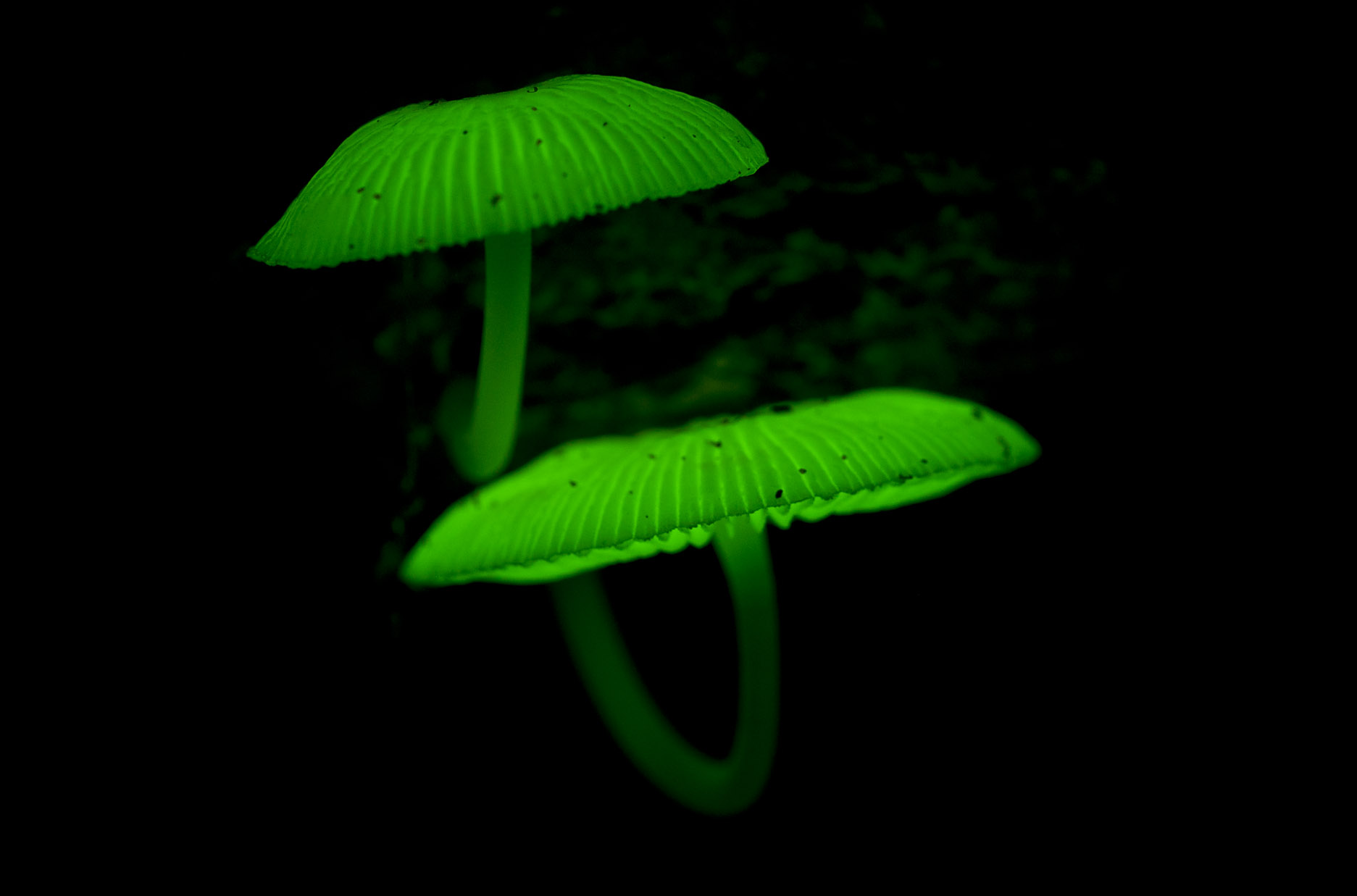 luminous_fungus_20120411_Mount_Pitt_Norfolk_I_NP_1.jpg