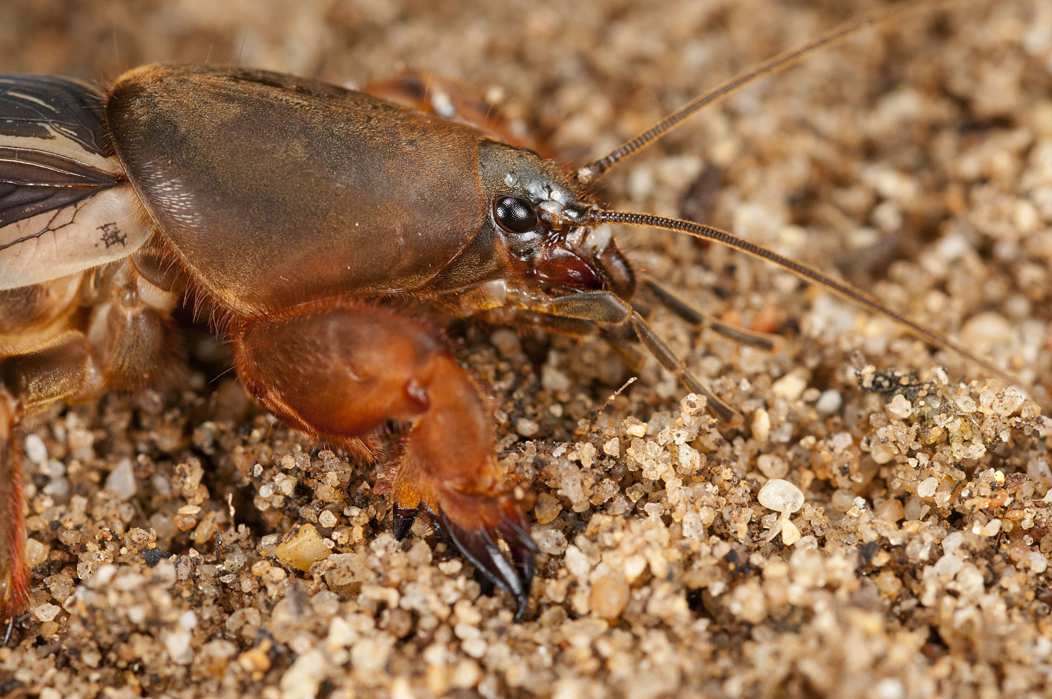 Mole_Cricket_20111218_Fremantle_WA_1.jpg