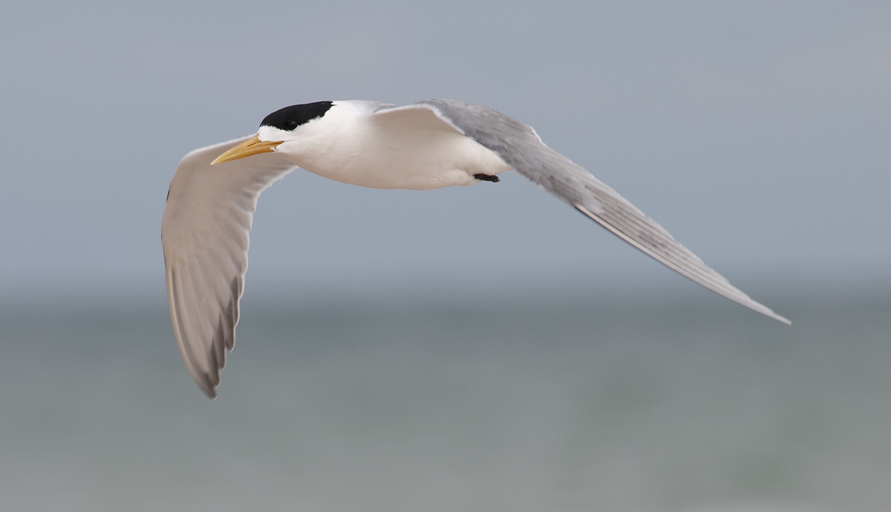 Greater_Crested_Tern_20111227_West_Beach_SA_1.jpg