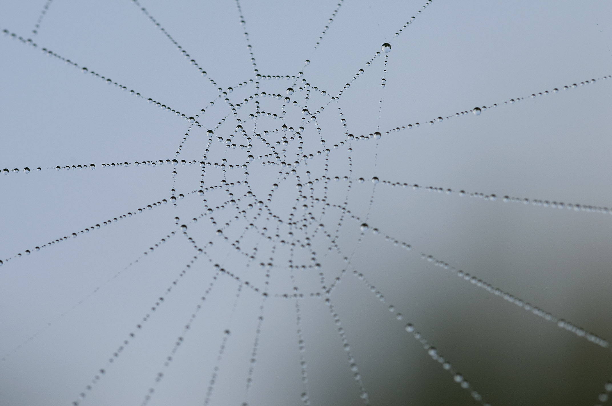 dew_on_spider-webs_20110606_Herne_Bay_NZ_05.jpg