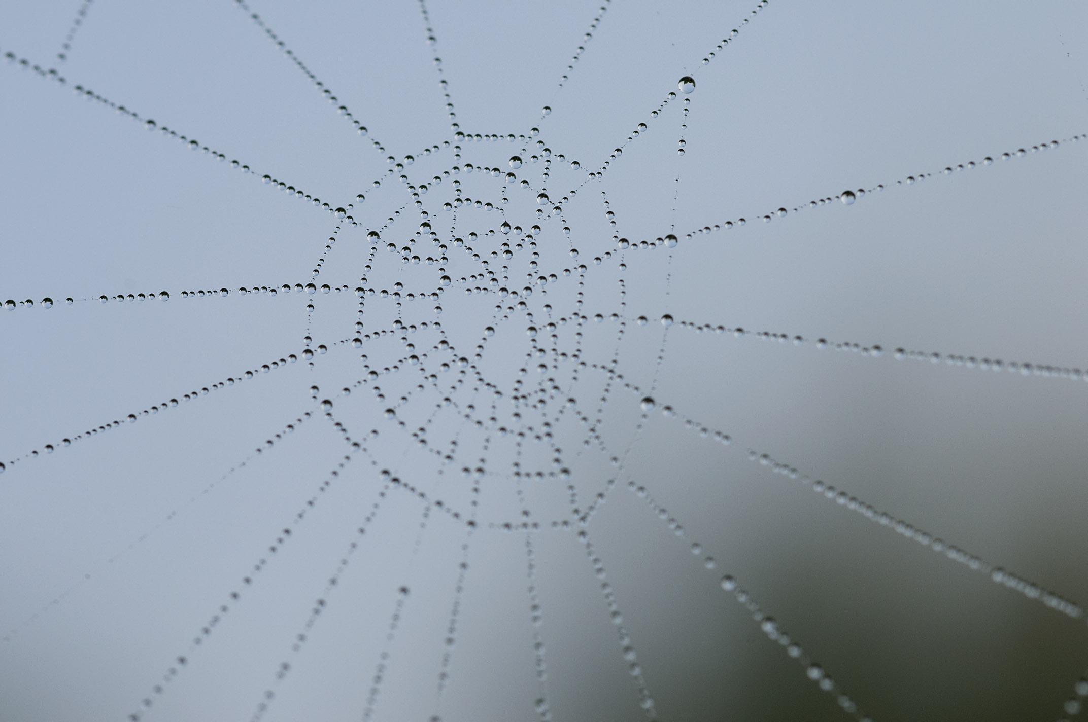 dew_on_spider-webs_20110606_Herne_Bay_NZ_05.jpg