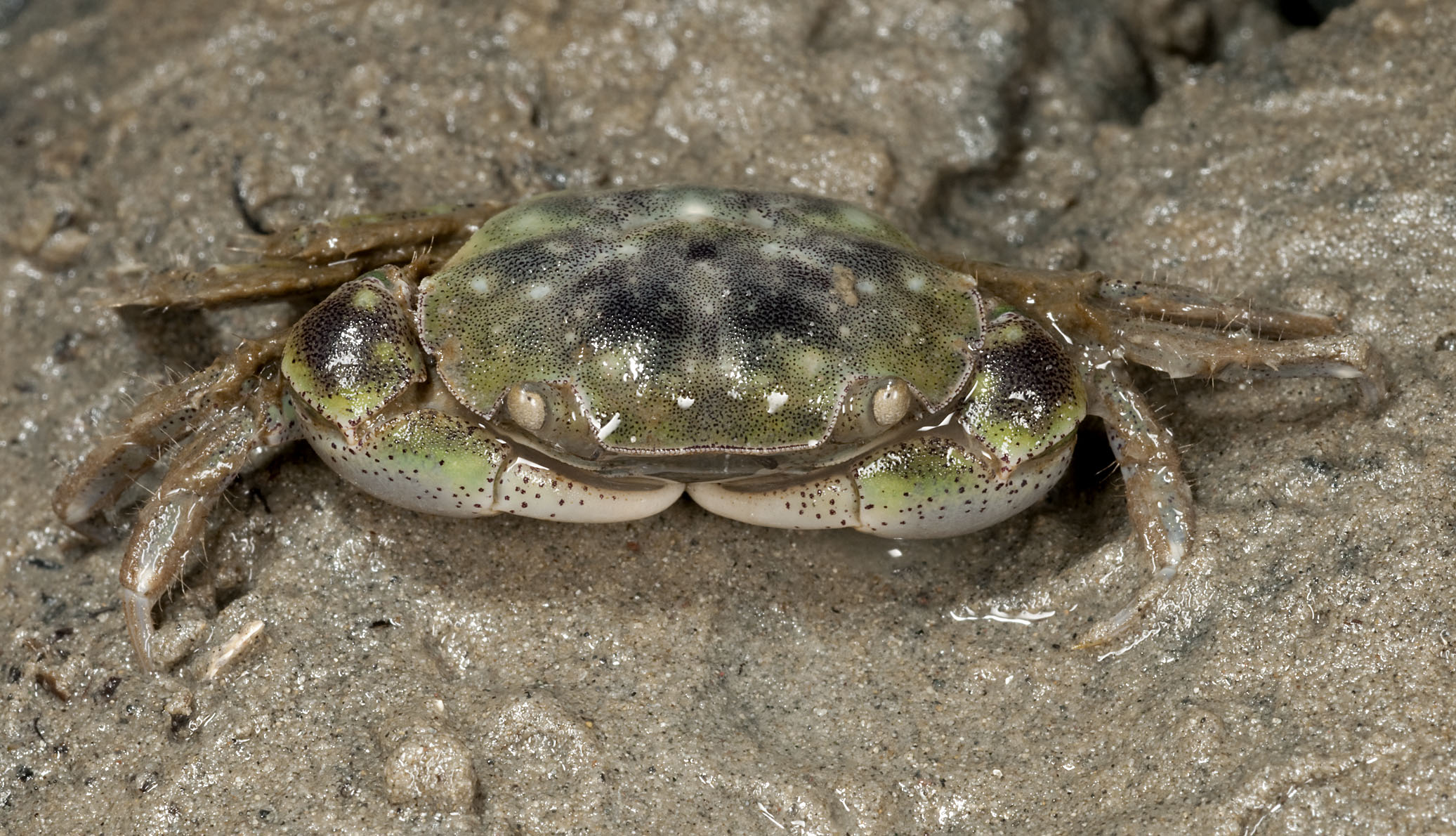 crab_20110204_Cox's_Bay_Auckland_NZ_15.jpg