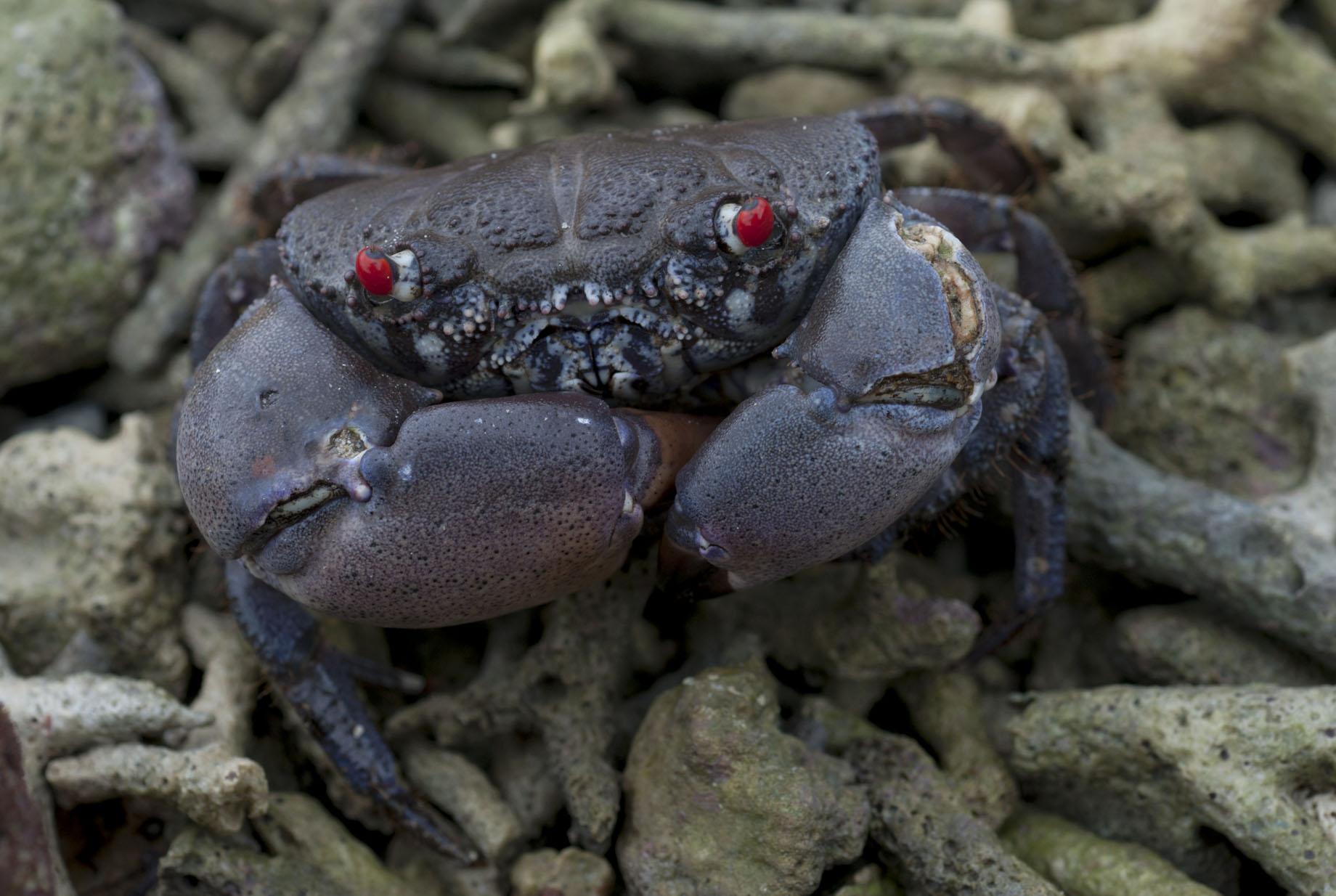 crab_20110729_Turtle_Bay_Santo_Vanuatu_1.jpg