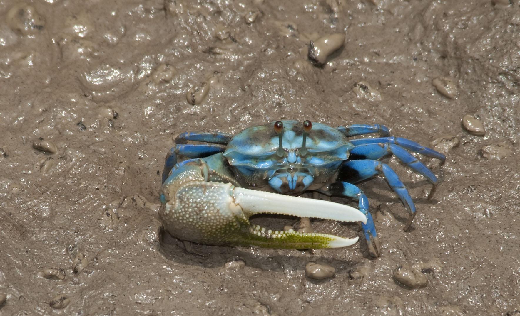 crabs_20100419_Kuala_Selangor_Malaysia_03.jpg