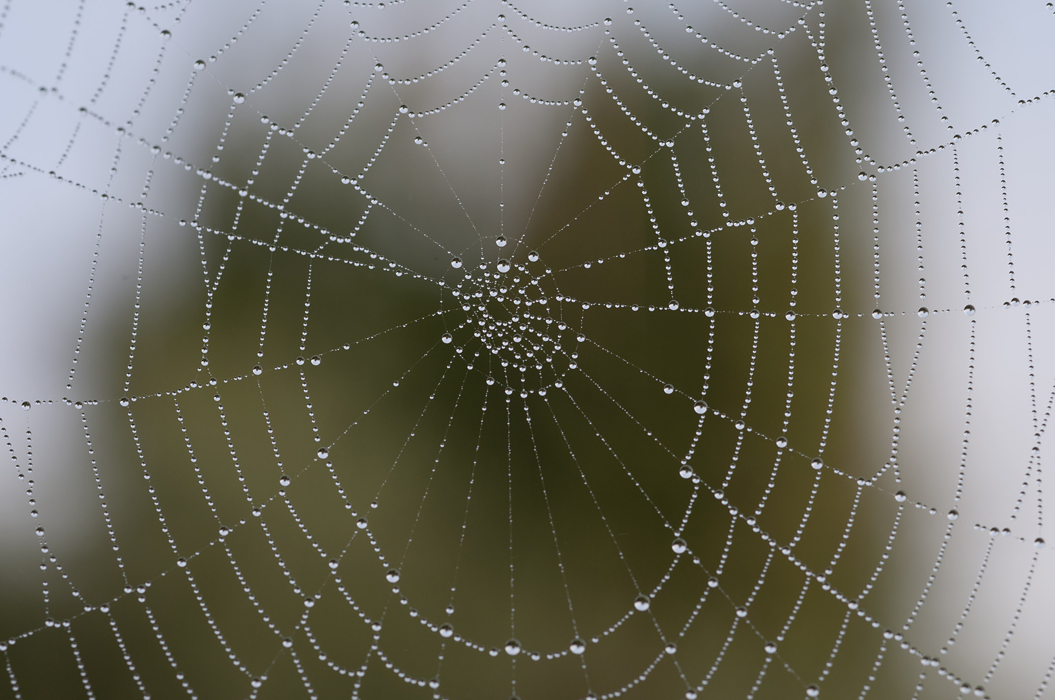 dew_on_spider-webs_20110606_Herne_Bay_NZ_07.jpg