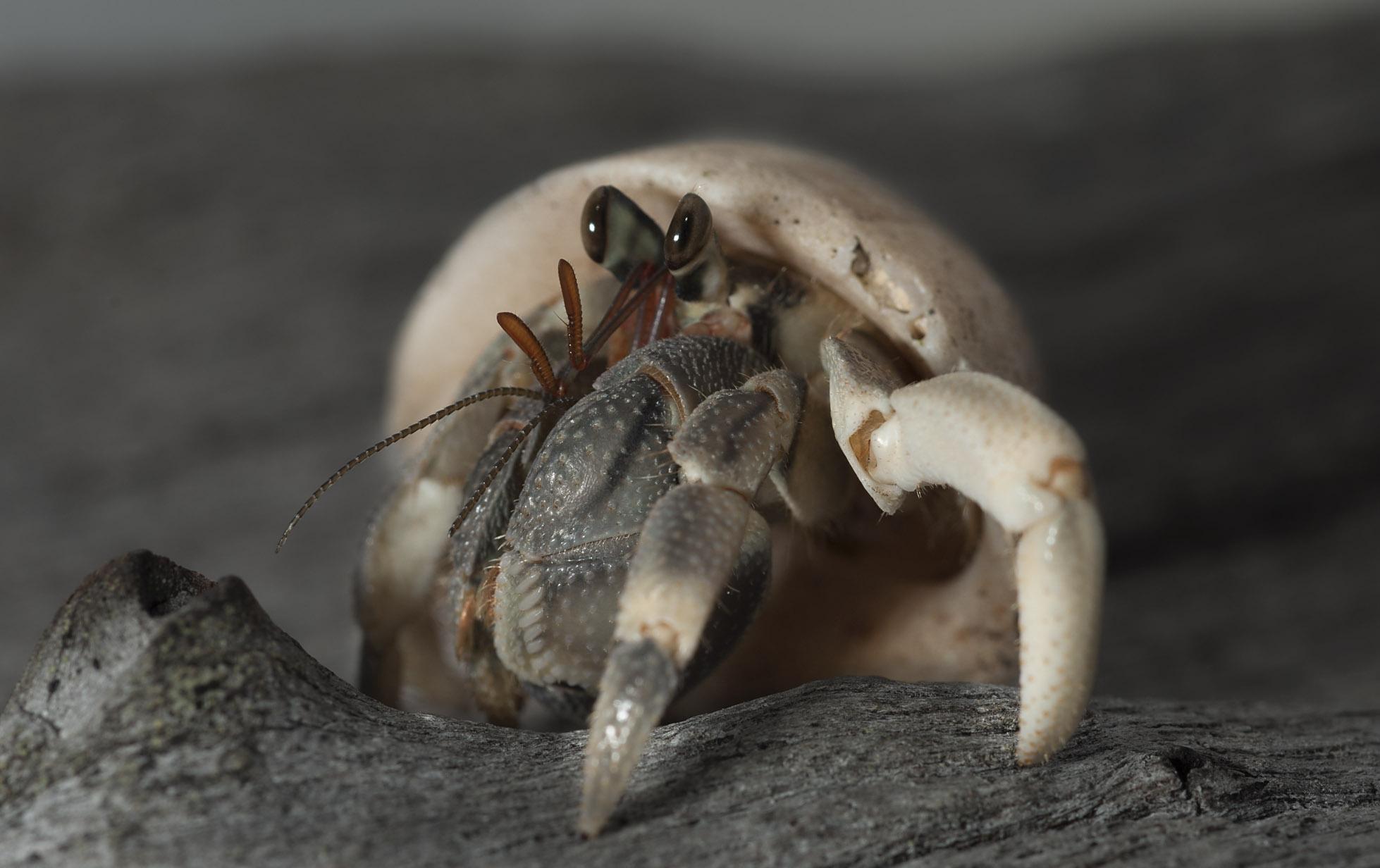 Hermit-crab_20110729_Turtle_Bay_Santo_Vanuatu_1.jpg