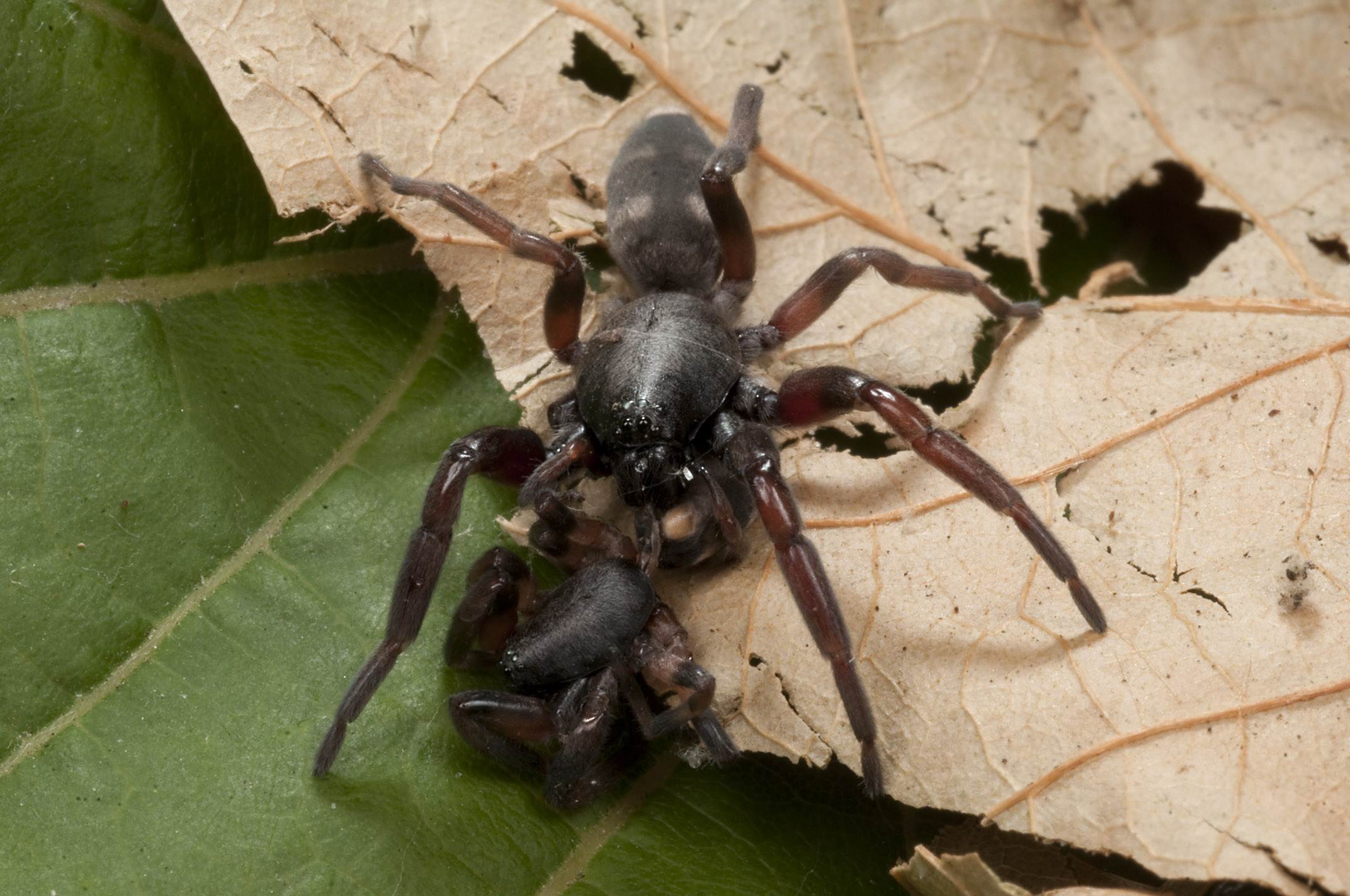 White-tailed_Spider_eating_White-tailed_Spider_20110105_Herne_Bay_Auckland_NZ_1.jpg