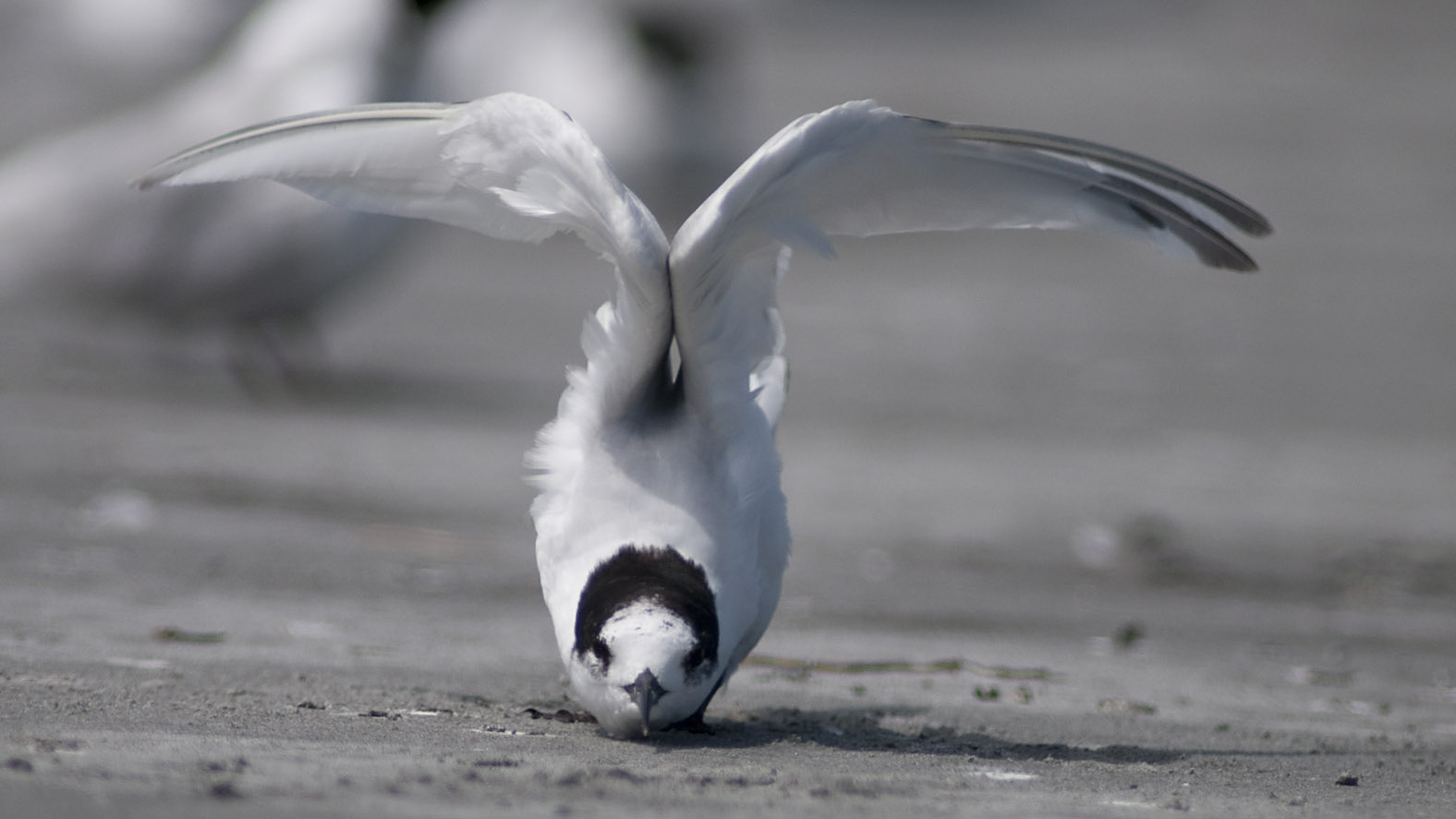 White-fronted_Tern_20110113_Tauranga_Bay_Westport_NZ_11.jpg