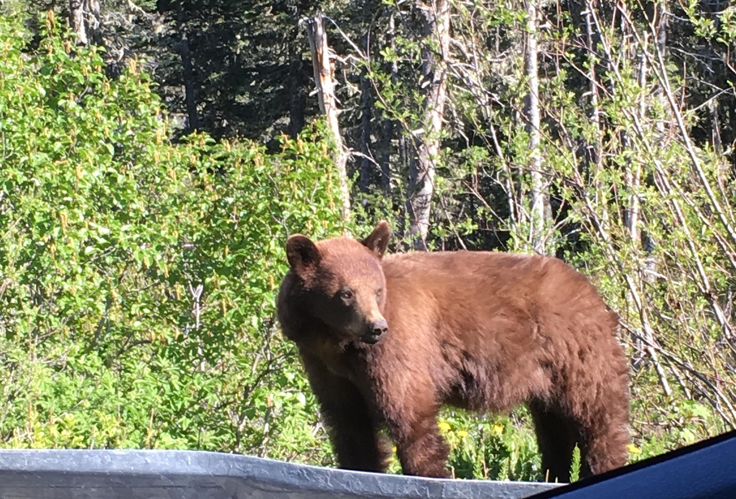 Yukon Brown Bear