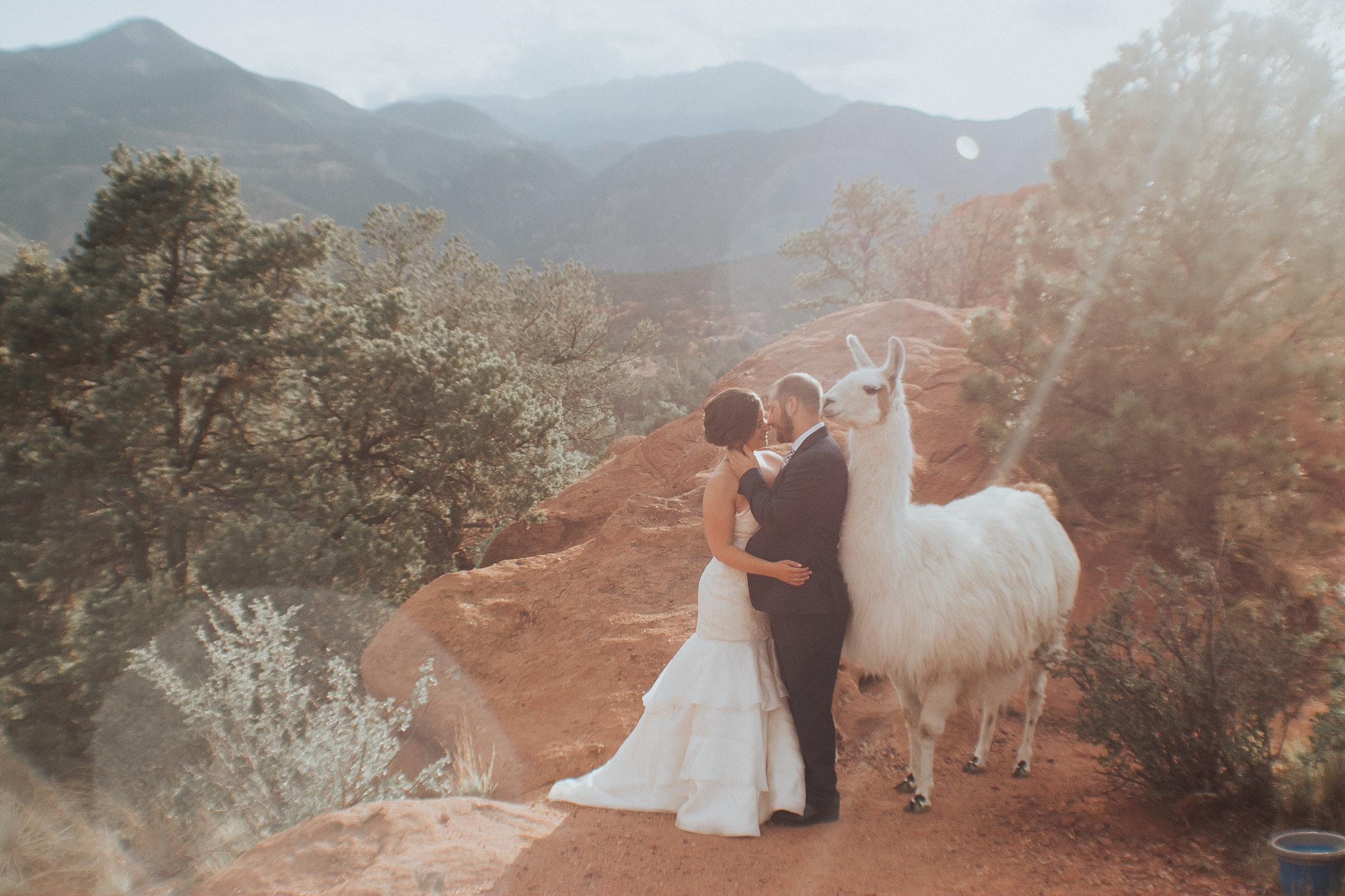 Wedding llamas