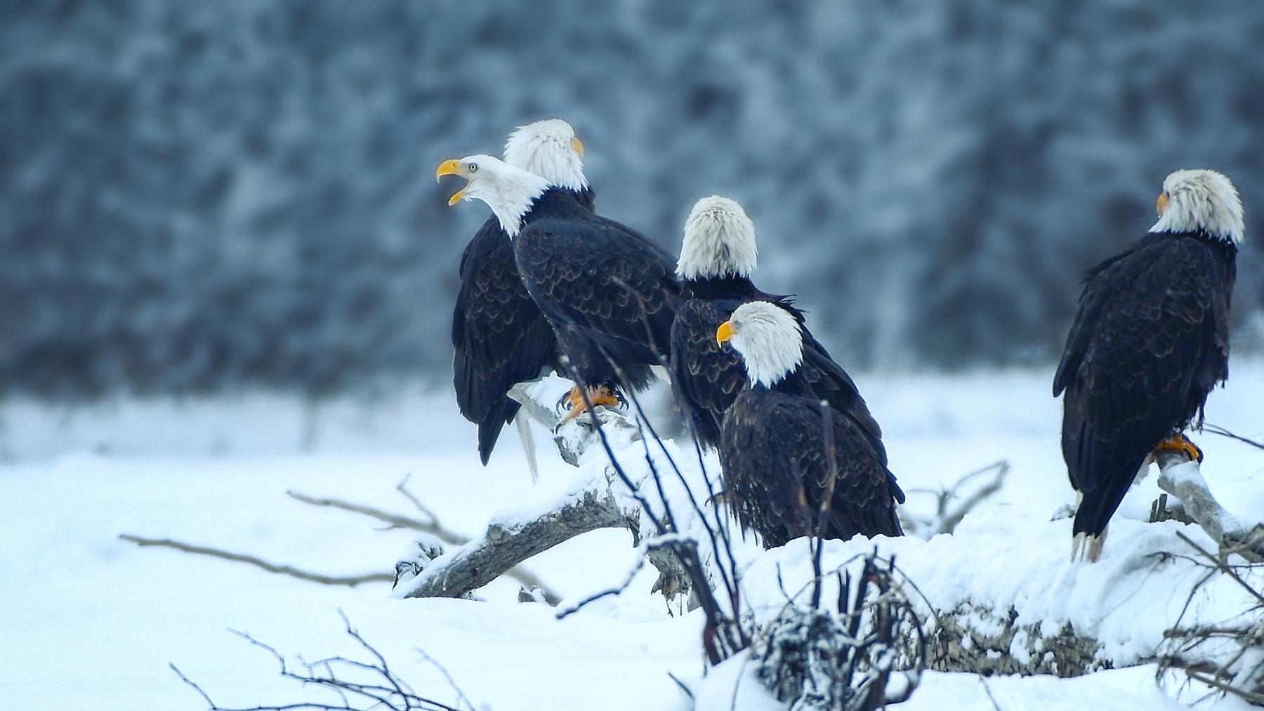 EagleGatherAlaska©BrianRiveraUncapher.jpg