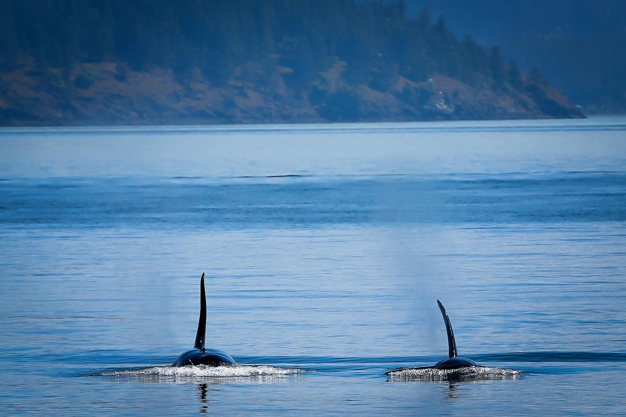 Orcas©BrianRiveraUncapher.jpg